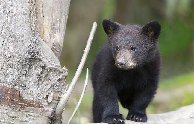 Deux portées d'oursons sont nés au safari de Peaugres