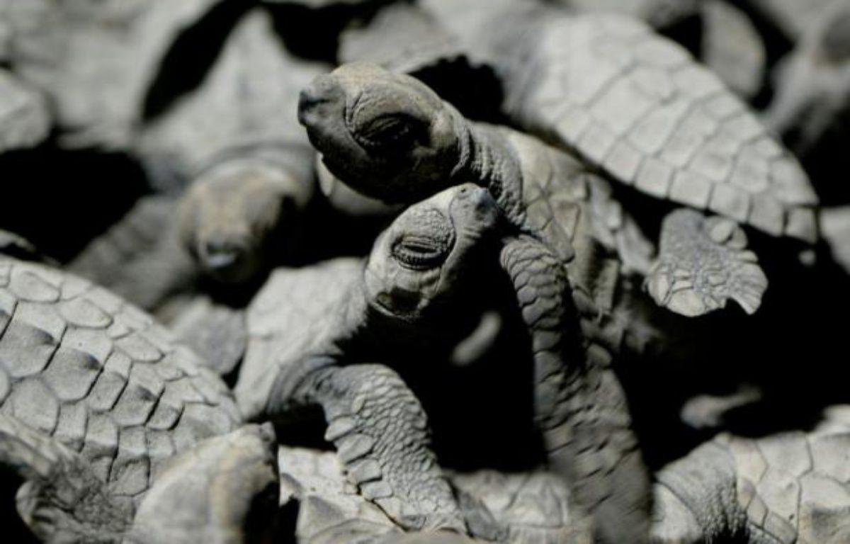 Des tortues olivâtres placées dans un seau pour être admirées par les touristes, avant d'être relachées sur la plage de Morong, le 7 janvier 2016 – NOEL CELIS AFP