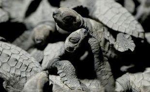 Des tortues olivâtres placées dans un seau pour être admirées par les touristes, avant d'être relachées sur la plage de Morong, le 7 janvier 2016