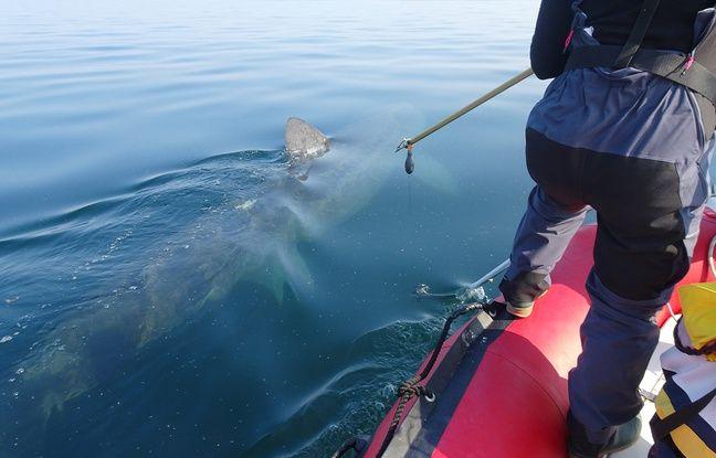 Marie B, femelle requin pèlerin de 6.5 mètres, est équipée de deux balises.