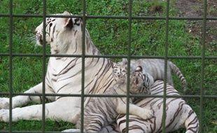 A Bordeaux, le 21 octobre 2014, les quatre tigrons blancs du zoo de Pessac explorent leur enclos.