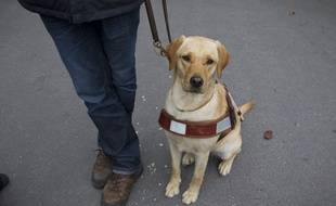 Un futur chien guide d'aveugle. (Illustration)