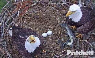 Harriet et M15 sont  deux aigles chauves (Pygargue à tête blanche, en VF), de Floride.