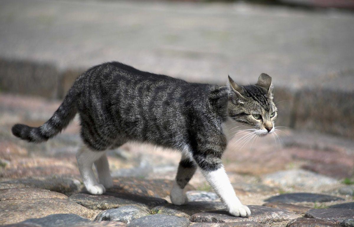 Illustration d'un chat marchant dans une rue. – QUINET JEAN MARC/ISOPIX/SIPA