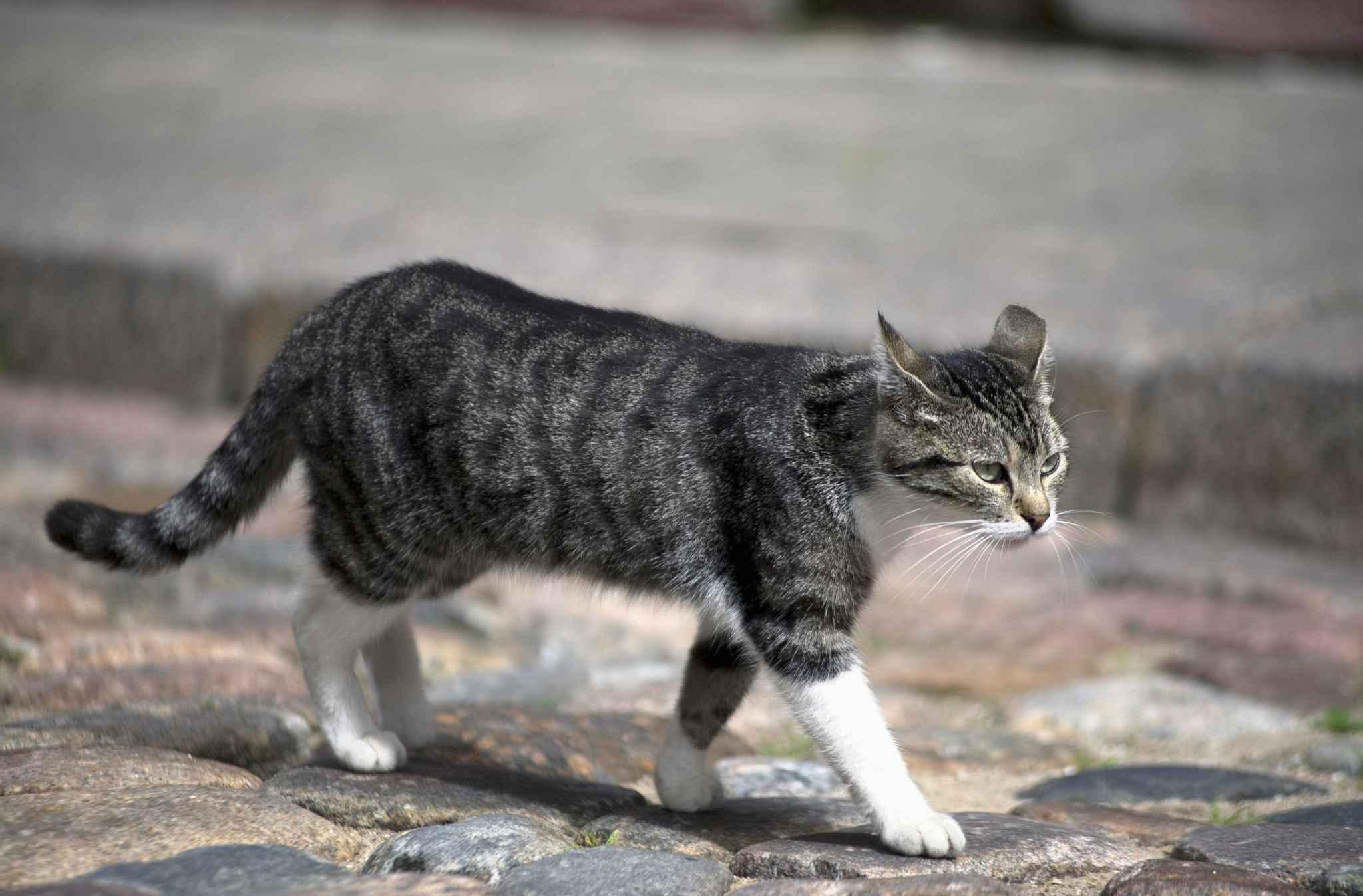 Australie: 2 millions de chats vont être abattus pour protéger la faune