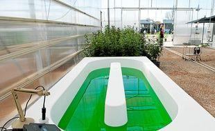 Les algues remplaceront le sirop de menthe dans le bassin d'ici deux mois.