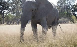 Un éléphant dans une réserve au Botswana.