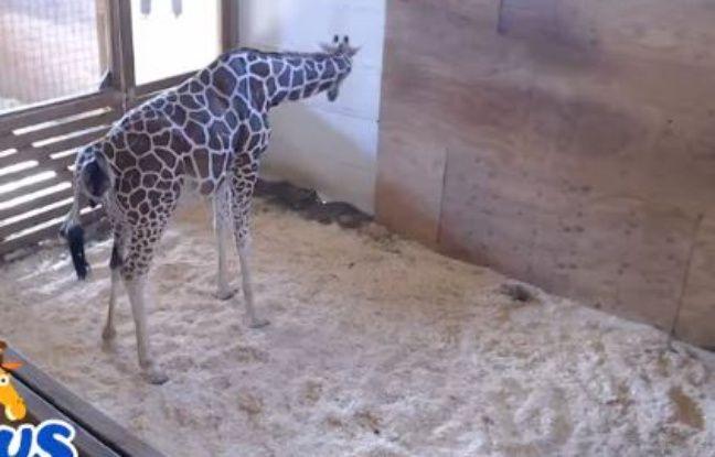 Arpil la girafe