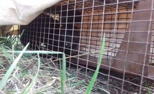 Un vison d'Europe a été identifié par l'office national  de la chasse et de la faune sauvage dans les Pyrénées-Atlantiques.