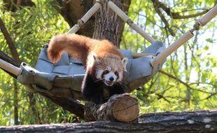 Panda roux au zoo de Pessac