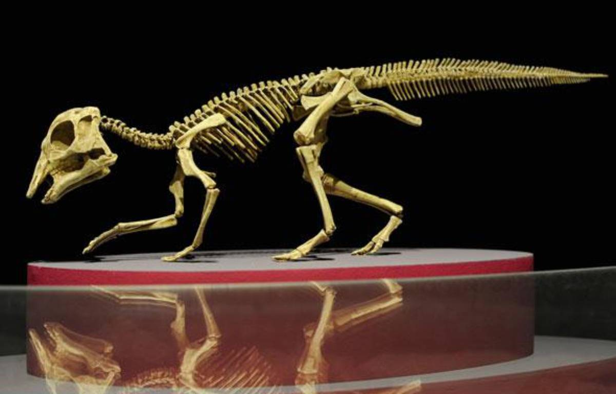 Extrêmement rare, est également exposé le squelette d'un bébé dinosaure, Hypacrosaurus, retrouvé intact au Canada. – S. ORTOLA / 20 MINUTES