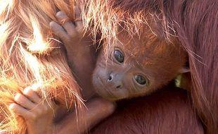 Un singe hurleur roux est né à Planète Sauvage en Loire-Atlantique
