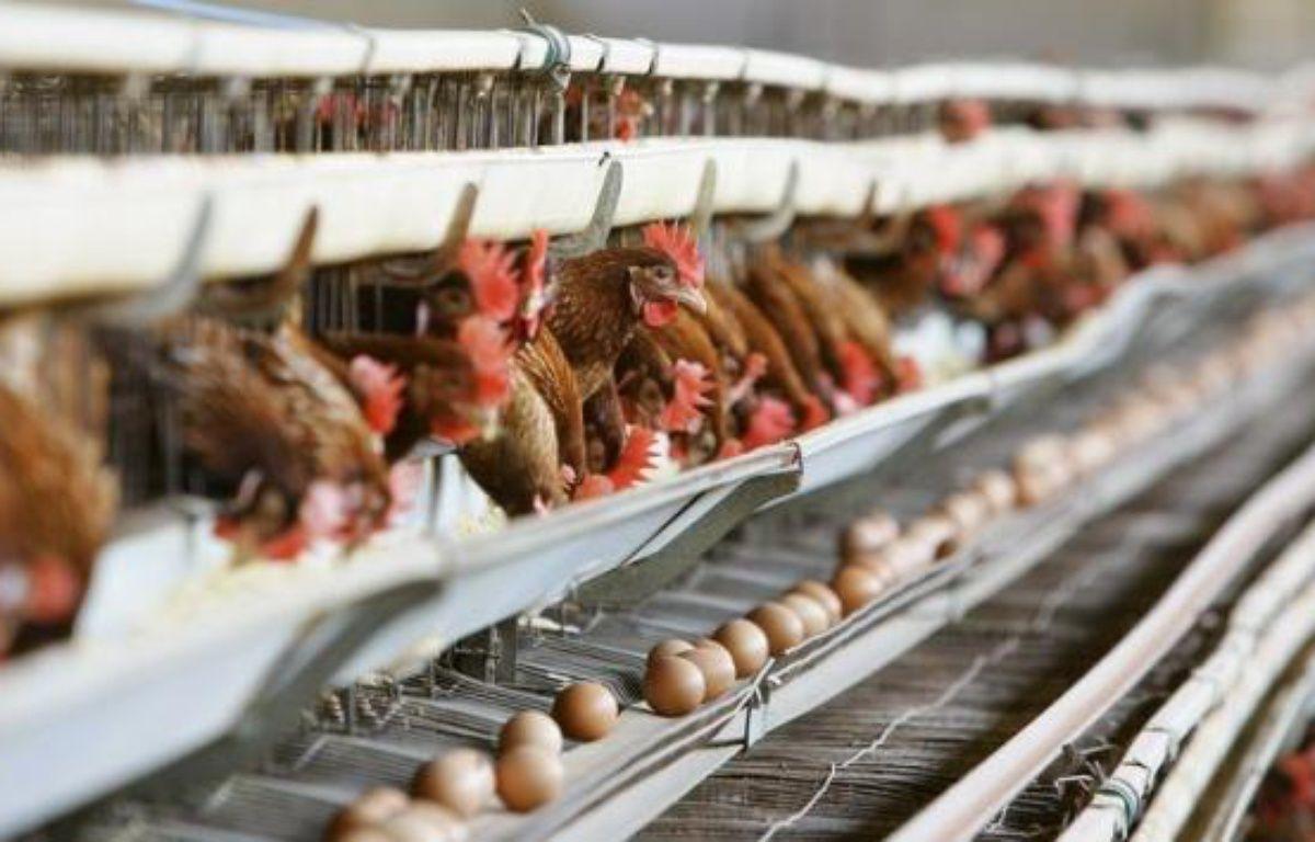 Les poules pondeuses devraient disposer d'un peu plus de place - l'équivalent de la surface de deux tickets de métro - dans leurs cages à partir du 1er janvier, mais resteront parquées dans des batteries, qui hébergent actuellement 80% des gallinacés produisant les oeufs consommés en France. – Fabrizio Villa afp.com