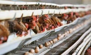 Les poules pondeuses devraient disposer d'un peu plus de place - l'équivalent de la surface de deux tickets de métro - dans leurs cages à partir du 1er janvier, mais resteront parquées dans des batteries, qui hébergent actuellement 80% des gallinacés produisant les oeufs consommés en France.