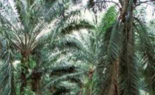 Une plantation de palmiers à huile en Thaïlande