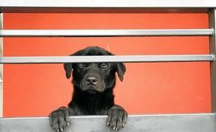 Illustration d'un labrador noir.