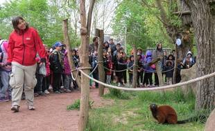 Repas des lémuriens au parc animalier de Sainte-Croix (Moselle).
