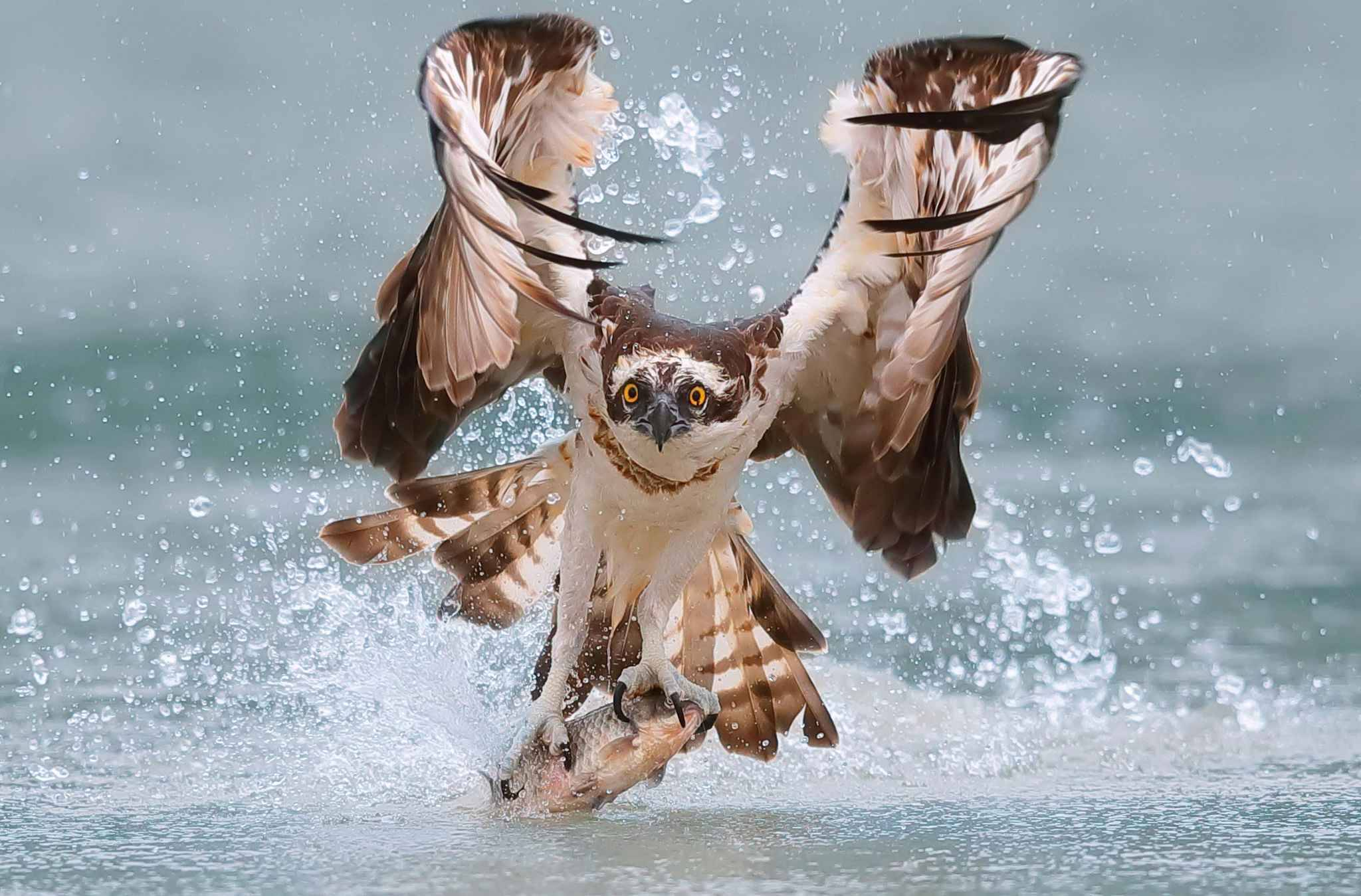 Pic by Chen Chengguang/Caters News - (Pictured: Stunning images show a mighty bird of prey swooping from the sky and hooking a fish its talons on the outskirts of Taipei, Taiwan.) -An impressive osprey has swooped into a stream from the sky to catch a fish with its claws. Chen Chengguang, took the stunning images in Taipei, Taiwan, earlier this year. The images show the mighty bird of prey swooping from the sky and hooking a fish its talons. Chen, a photographer, added: The osprey dives from the air into the river and uses its powerful claws. Catching fish for the bird of prey is almost fool proof, its wonderful.