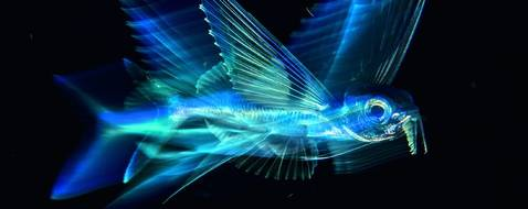 NE PAS REUTILISER Monde sous-marin Lors d'une plongée nocturne au-dessus des grands fonds de l'Atlantique, loin au large de Palm Beach, en Floride, Michael réussit finalement à atteindre son but : prendre une image d'exocet qui transmette en même temps la vitesse et la beauté de ce fantastique poisson. De jour, ils sont quasi impossibles à approcher. Vivant en surface, ils sont une proie potentielle pour de nombreux prédateurs comme les thons, les marlins ou les maquereaux. Mais ils ont un moyen d'échapper au danger : en battant rapidement de leur queue fourchue dissymétrique (le lobe inférieur est plus grand que le supérieur), ils acquièrent assez de vitesse pour se propulser hors de l'eau. Ils déploient alors leurs longues nageoires pectorales semblables à des ailes et peuvent planer sur plusieurs centaines de mètres. Il est plus facile de les surprendre la nuit car ils se déplacent alors lentement près de la surface à la recherche de plancton. L'océan était calme et Michael put s'approcher peu à peu de cet exocet qui s'habitua à sa présence. Dans le noir total, il essaya plusieurs éclairages tout en gardant son sujet de 13 cm à l'œil ainsi que son bateau qui dérivait. Le résultat est cette vision intime d'un poisson volant. Vol de nuit - © Michael Patrick O'Neill / Wildlife Photographer of the Year 2018