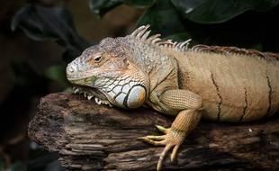 Près de 1.500 iguanes terrestres ont été réintroduits sur une île de l'archipel équatorien des Galapagos