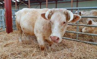 Idéale, la vache charolaise qui figure sur les affiches du salon de l'agriculture 2020.