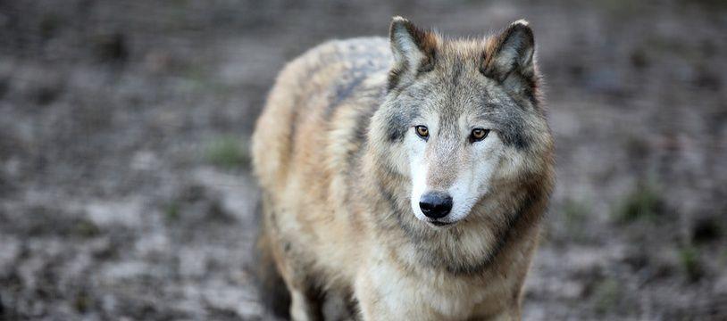 Nanouk, le loup mâle de la meute de Pairi Daiza.