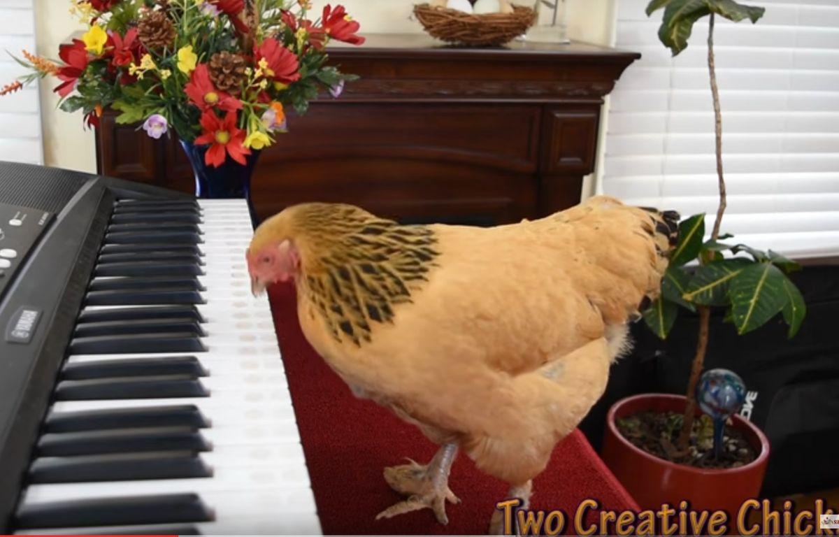 Les poules savent jouer du piano, c'est nouveau – Screenshot Two Creative Chicks