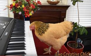 Les poules savent jouer du piano, c'est nouveau