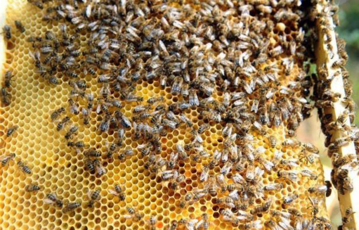 Le recours aux abeilles, de plus en plus nombreuses en zone urbaine avec des ruches installées sur des toits d'opéras ou au pied des immeubles, est développé comme un moyen d'évaluation de la pollution, faisant d'elles de véritables sentinelles de l'environnement. – Rémy Gabalda afp.com
