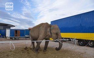 L'association One Voice veut sauver l'éléphante Maya d'un cirque du Lot-et-Garonne.