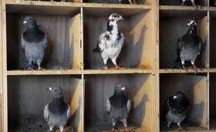 """Le """"sixième sens"""" qui permet aux pigeons voyageurs de s'orienter grâce au champ magnétique terrestre ne se situerait pas dans leur bec, comme on a pu le croire, selon une étude publiée en ligne mercredi par la revue britannique Nature qui relance le mystère."""