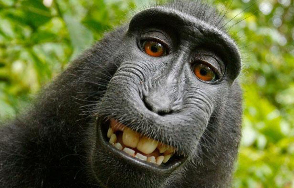 Un singe a fait ses propres autoportraits, après avoir emprunté l'appareil photo de David Slater. Parc national, île de Sulawesi,Indonésie. – WILD MONKEY / DAVID SLATER / CATERS NEWS / SIPA