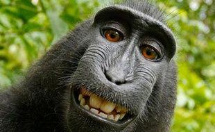 Un singe a fait ses propres autoportraits, après avoir emprunté l'appareil photo de David Slater. Parc national, île de Sulawesi,Indonésie.