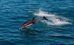 La gigantesque marée noire de BP dans le Golfe du Mexique en 2010 a provoqué des maladies chroniques chez les dauphins femelles exposées au pétrole, selon une étude