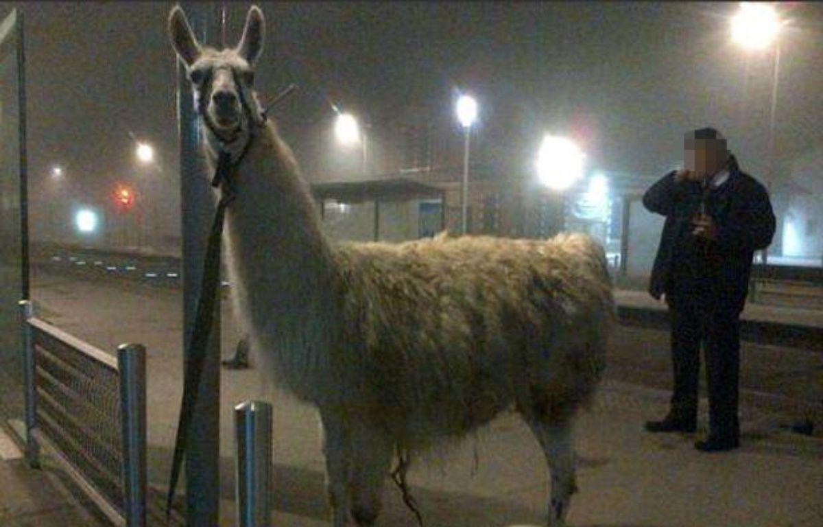 Après son petit trajet en tram, le lama a été attaché à un lampadaire, avant de pouvoir retrouver le cirque où il avait été volé. – Capture Twitter/@x_cappelaere