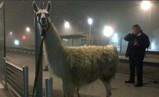 Après son petit trajet en tram, le lama a été attaché à un lampadaire, avant de pouvoir retrouver le cirque où il avait été volé.