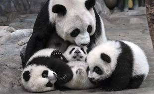 In this photo taken Wednesday Dec. 3, 2014, panda mother Ju Xiao plays with her triplet cubs in the Chimelong Wildlife Park in Guangzhou in south China's Guangdong province. The cubs, born on July 29, are the fourth panda triplets recorded in history and the only living triplets now in the world.(AP Photo) CHINA OUT /XHG801/311822932243/CHINA OUT, DEC. 3, 2014 PHOTO/1412140526