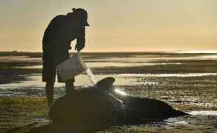Illustration: Un volontaire verse de l'eau sur une baleine-pilote échouée sur une plage à Farewell Spit, en Nouvelle-Zélande, le 11 février 2017.