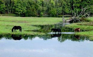 Des poneys sur la réserve naturelle des marais du Blayais.