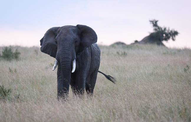Un éléphant dans la réserve Maasai Mara au Kenya, le 13 juillet 2016.