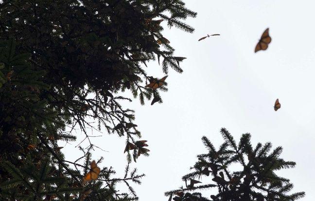 Les papillons monarques au Mexique.