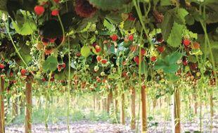 Des fraises poussent hors-sol au-dessus d'une ancienne décharge dans les Yvelines, dans un projet mené par les fermes de Gally.