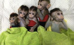 La Chine a cloné cinq singes à partir d'un macaque génétiquement modifié.