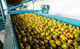 Lavage et cirage des oranges à Rio Real, à 200 km au nord de Salvador de Bahia, au Brésil, le 18 février 2014