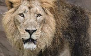Un lion a tué une Américain de 22 ans, dimanche 30 décembre au parc zoologique de Burlington, en Caroline du Nord.