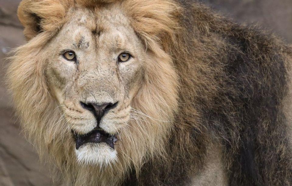 Un lion tue une jeune Américaine qui travaillait dans un parc zoologique 960x614_lion-tue-americain-22-ans-dimanche-30-decembre-parc-zoologique-burlington-caroline-nord