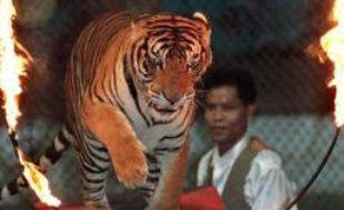 Les conditions de détention des animaux de cirque sont dénoncées par certaines associations