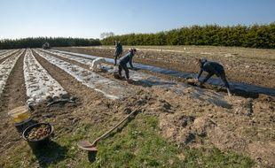 C'est la période du plantage des oignons chez ce maraîcher bio de Belle-Ile-en-Mer, dans le Morbihan (illustration).