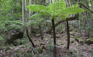 La fougère Cyathae, espèce « en danger critique » en Guadeloupe.