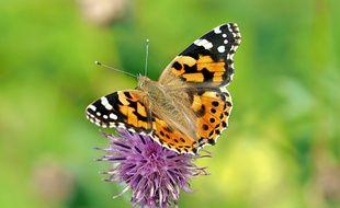 Un papillon dans la nature (illustration).